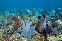 Corail gorgone - Antilles 1_franck mazeas.JPG