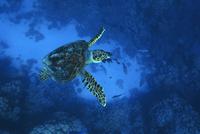 tortue-pierre-marin-razi-ffessm.jpg