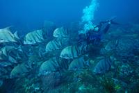 platax-pierre-marin-razi-ffessm.jpg