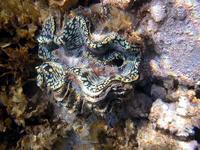 Mollusque bénitier - Juan de Nova 1_jp quod.jpg