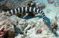 Serpent - NC 1_franck mazeas.JPG