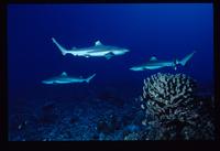 requin-pierre-marin-razi-ffessm.jpg