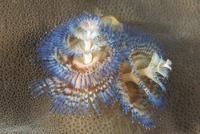 serpule-pierre-marin-razi-ffessm.jpg